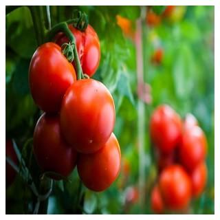 Ace 55 Tomato (Solanum lycopersicum)