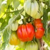 Beefsteak Tomato (Solanum lycopersicum)
