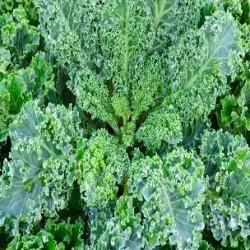 Dwarf Blue Curled Scotch Kale (Brassica oleracea)