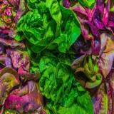 Gourmet Leaf Lettuce Blend