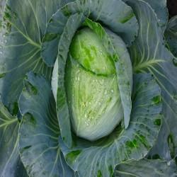 Early Jersey Wakefield Cabbage (Brassica oleracea)