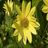Lemon Queen Sunflower (Helianthus annuus)