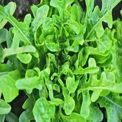 Oakleaf Lettuce