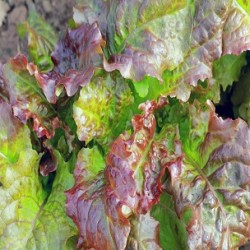 Prizehead Lettuce