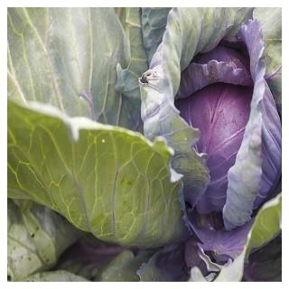 Red Acre Cabbage (Brassica oleracea)