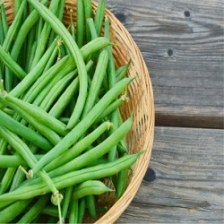 Top Crop Bush Bean (Phaseolus vulgaris)