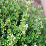 Thyme Winter (Thymus vulgaris)