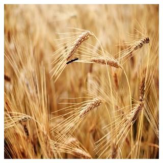 Hard Red Wheat