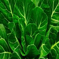 Morris Heading Collards (Brassica oleracea)