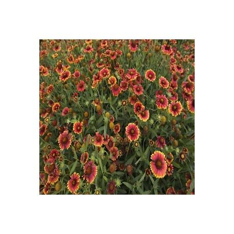 Painted Daisy (Chrysanthemum Carinatum)