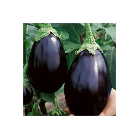 Black Beauty Eggplant (Solanum melongena)