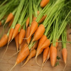 Red Cored Chantenay Carrot (Daucus carota)