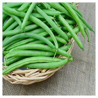Blue Lake Bush Bean (Phaseolus vulgaris)