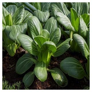 Bok Choy Cabbage (Brassica rapa)